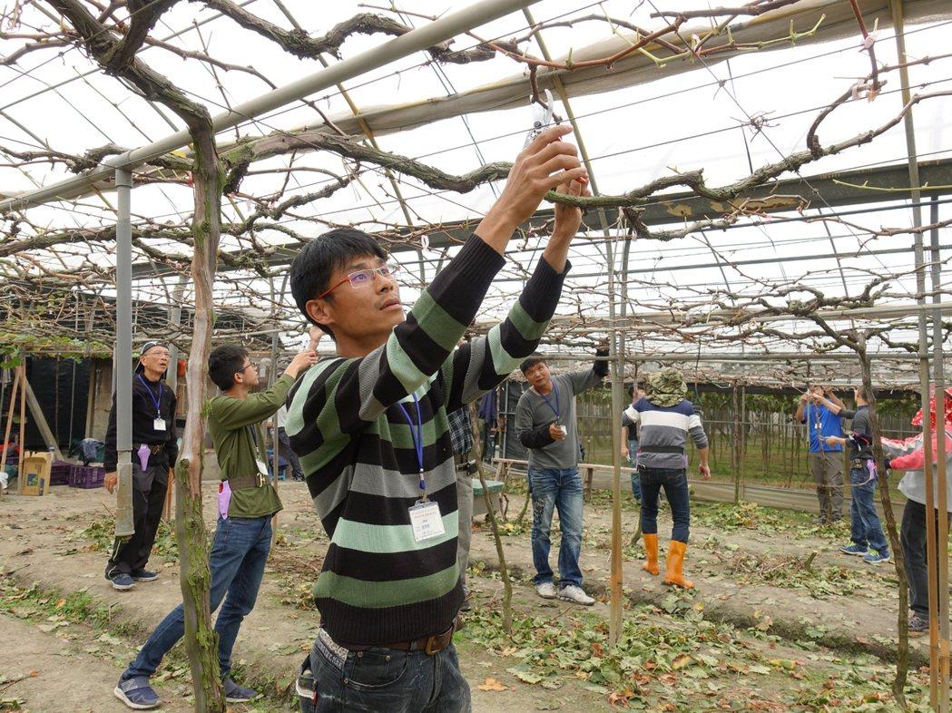 農委會今年陸續在中南部成立農技團,石岡技術團員日前到溪湖葡萄園學習整枝修剪。圖/...