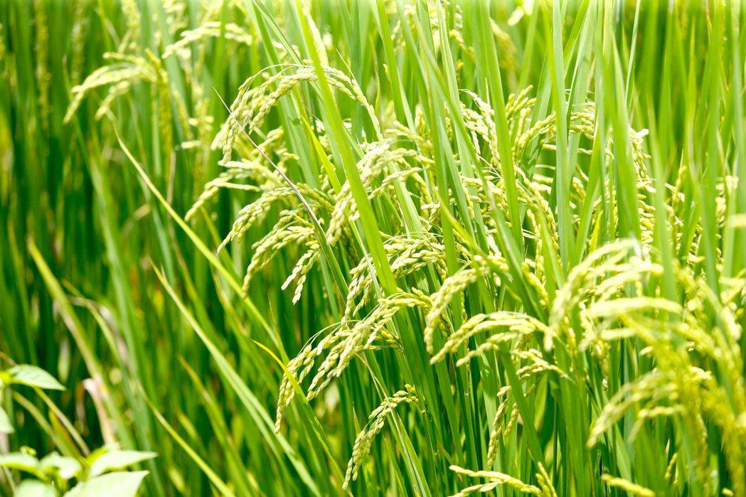 宜蘭縣冬山鄉三奇伯朗大道,粒粒飽滿的稻穗形成美景。記者程宜華/攝影