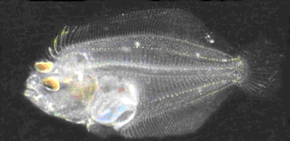 孵化第30日比目魚齡仔魚。圖/水試所提供