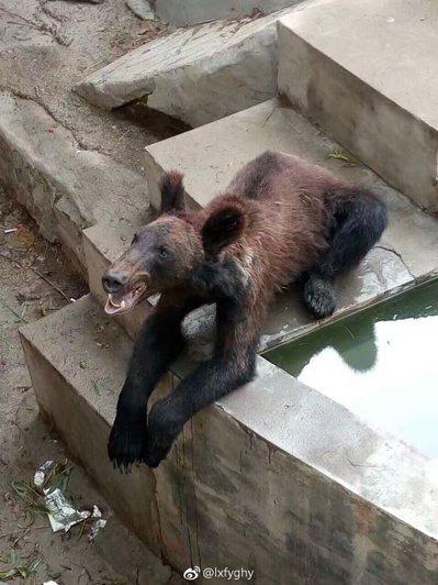 河南省新鄉市人民公園動物園裡,有一隻瘦骨嶙峋的棕熊,被網友質疑其遭虐待。(取材自...