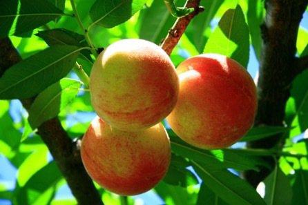 拉拉山水蜜桃示意圖。聯合報系資料照/記者許政榆攝影
