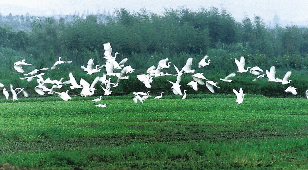 中國最美濕地 下渚湖夏有白鷺 圖/本報浙江溫州傳真