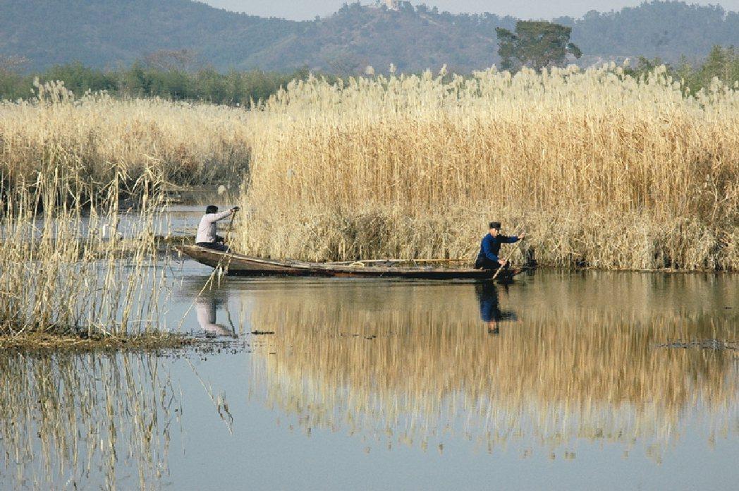 中國最美濕地 下渚湖秋日蘆葦 圖/本報浙江溫州傳真