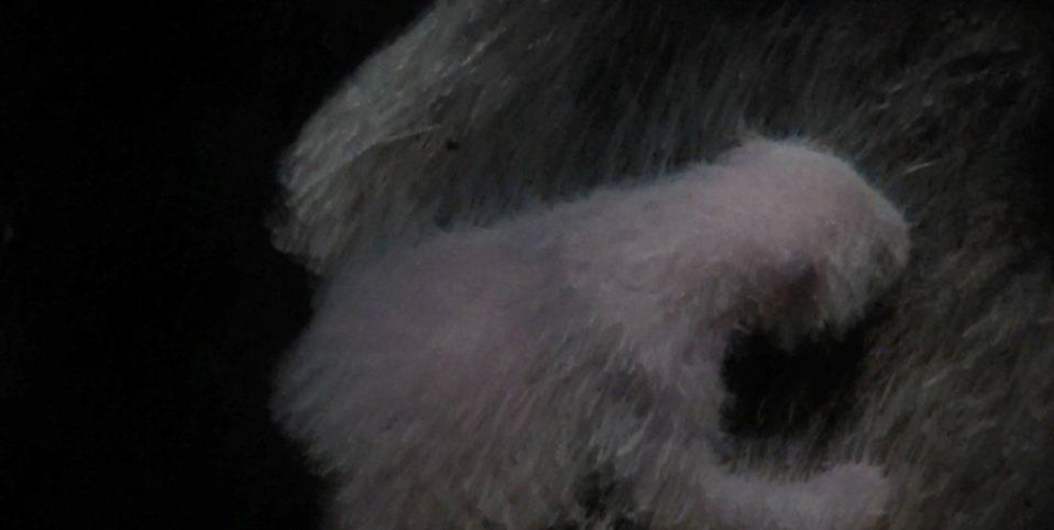 上野動物園貓熊寶寶成長順利,現在已經有283.9公克、17.6公分,上野動物園今...