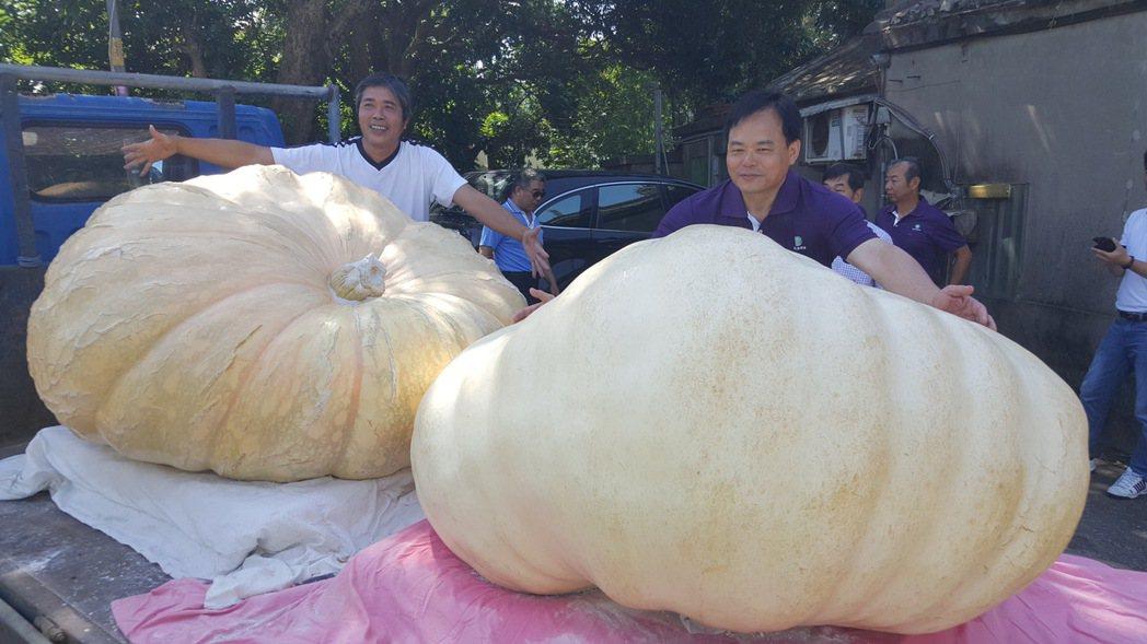 苗栗縣「南瓜王子」徐滄浩(左)今年種出重達880台斤的超大南瓜(左側)。記者胡蓬...