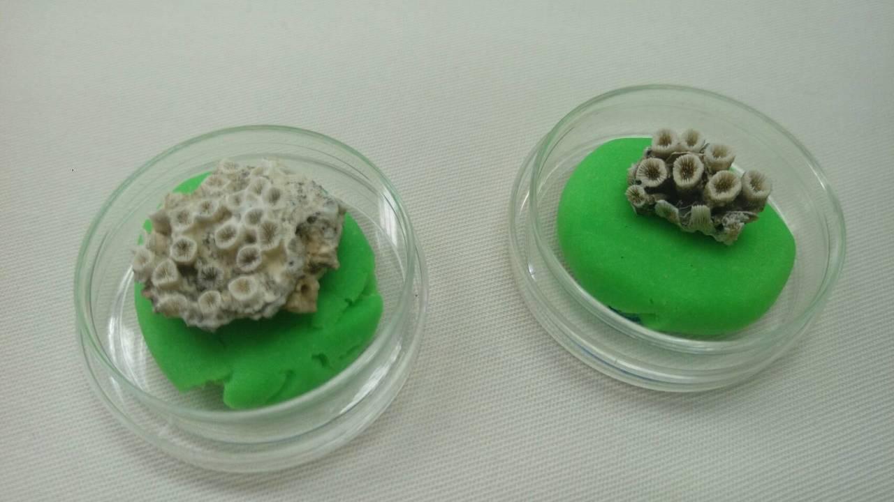 柴山多杯孔珊瑚。記者羅真/攝影