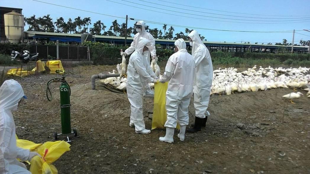 屏縣再傳禽流感疫情,撲殺2406隻肉鴨。圖/縣府提供