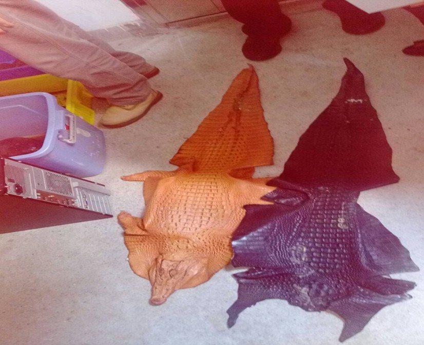 警方也在王男家中查獲短紋鱷魚皮。記者李承穎/翻攝
