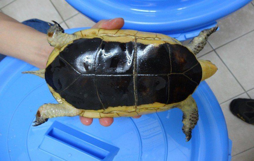 王男所飼養的食蛇龜。記者李承穎/翻攝