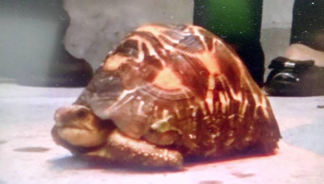 王男所飼養的射紋龜,黑市價值最高。記者李承穎/翻攝