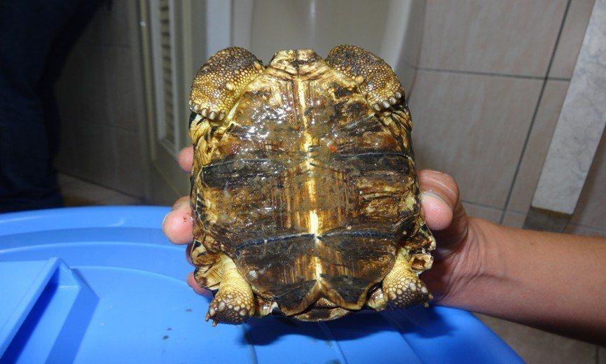 王男所飼養的柴棺龜。記者李承穎/翻攝