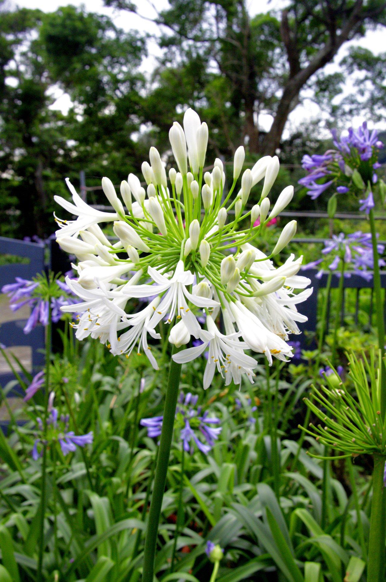 除了藍紫色外,園區內也栽植有白色的愛情花。圖/摘自台北市大地工程處官網