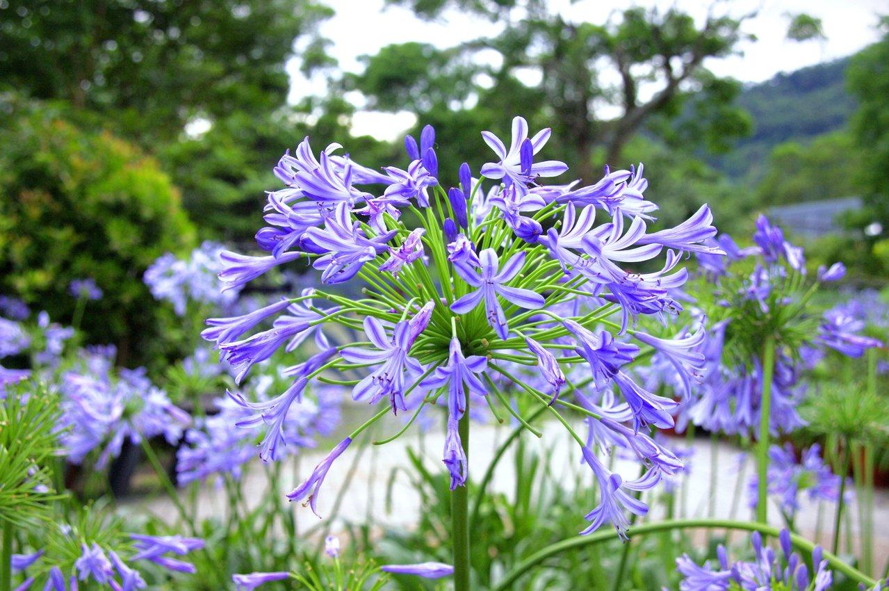 藍紫色的愛情花,花語為浪漫的愛情。圖/摘自台北市大地工程處官網