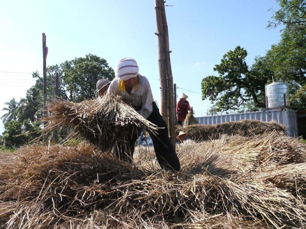 81歲陳姓農民經驗最豐富,主要負責技術指導,比年輕人還耐熱。記者徐白櫻/攝影