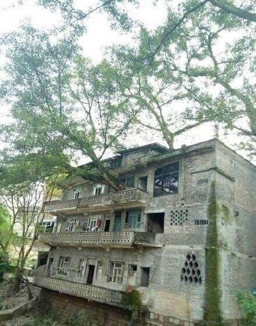 在重慶市梁平縣新盛鎮一居民家中,一棵數百年樹齡的黃桷樹扎根在室內,從地上一直穿越...