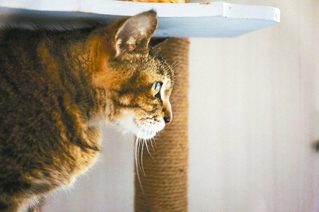 加粗的天然劍麻繩整組包覆的貓抓柱,降低隨意亂抓的風險。 信義居家/提供