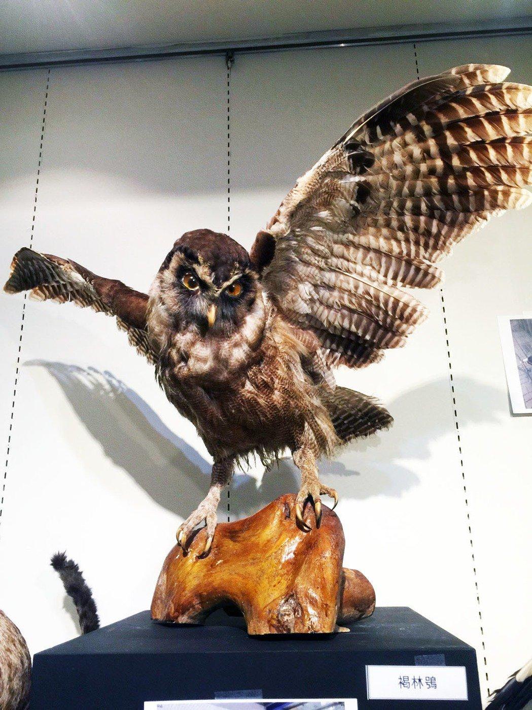 褐林鴞振翅高飛的姿態。記者郭宣彣/攝影