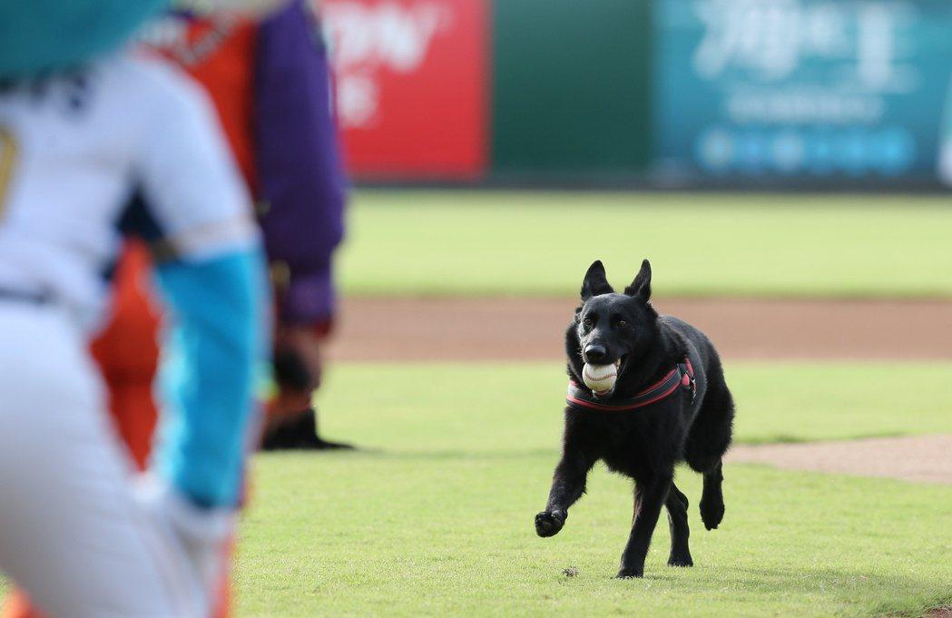 中職/桃猿對中信兄弟象晚上在桃園國際棒球場舉行,特地邀請搜救犬前來為球賽開球。記...