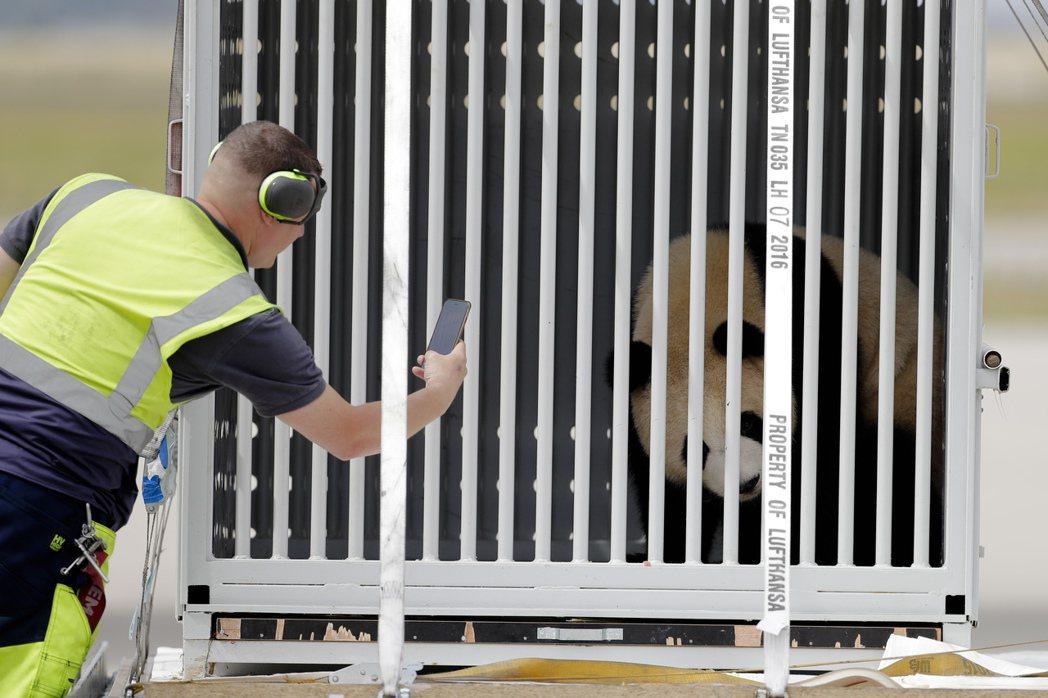 1名機場地勤人員24日在柏林附近的舍訥費爾德機場,忍不住拿手機拍下「嬌慶」的照片...