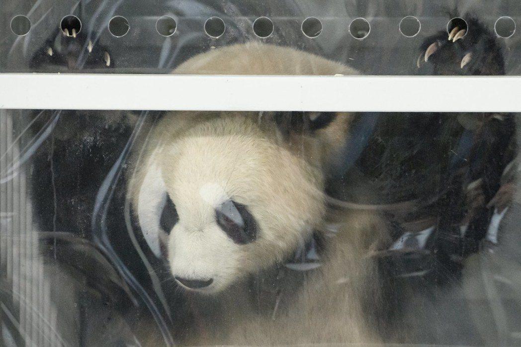 大熊貓「夢夢」和「嬌慶」從成都搭機12小時後已抵達柏林。圖為七歲雄性大熊貓「嬌慶...