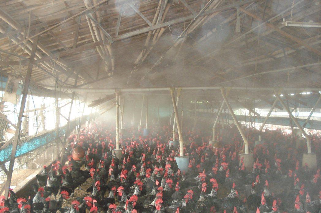 高雄市彌陀區畜牧場利用自動噴霧設施降低畜禽舍溫度。圖/高雄市農業局提供