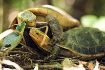 食蛇龜走私問題嚴重,發展商業化養殖能不能挽救這個物種從台灣消失? 圖/翡翠水庫管理局提供