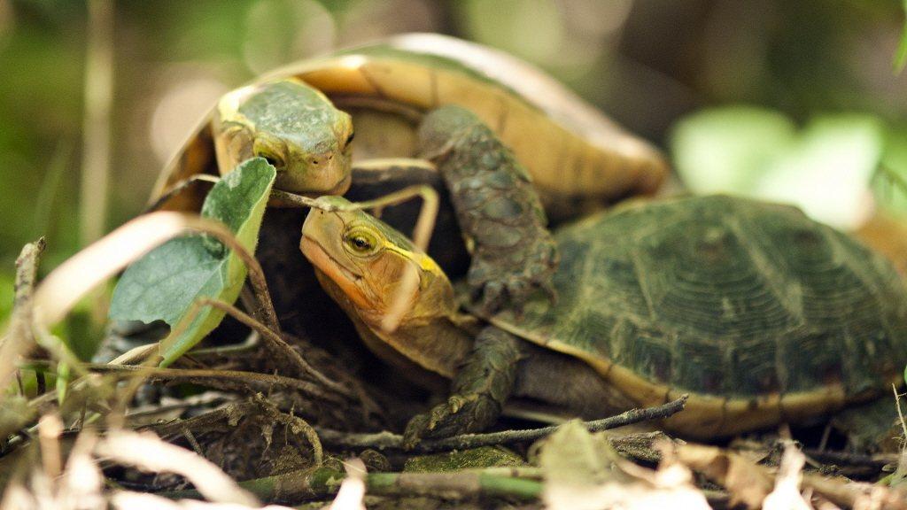 食蛇龜走私問題嚴重,發展商業化養殖能不能挽救這個物種從台灣消失? 圖/翡翠水庫管...