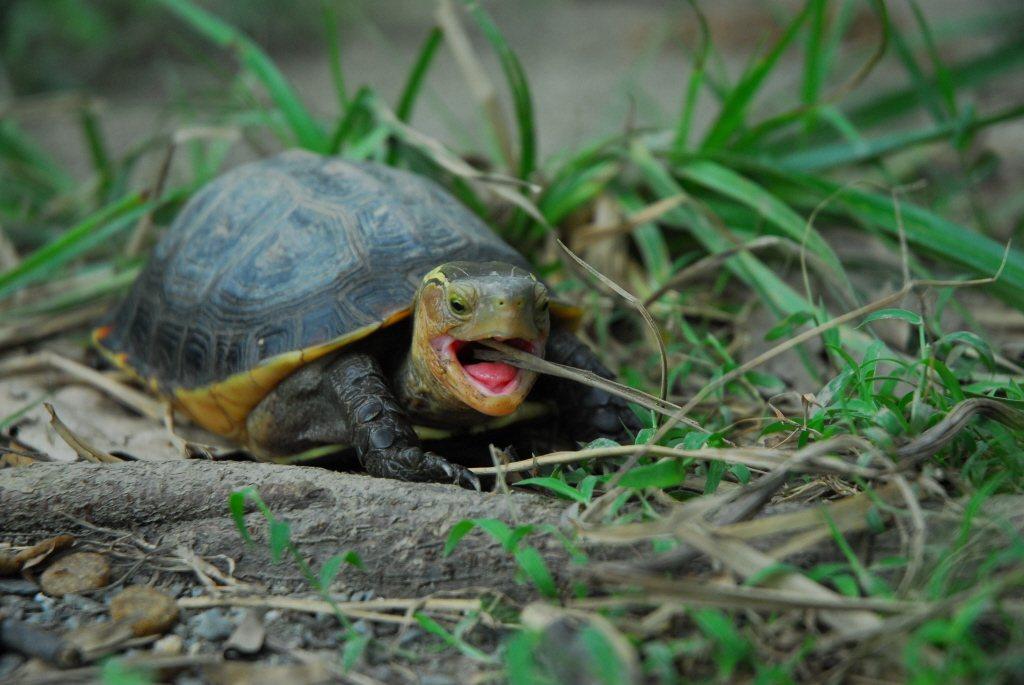 若業者打算輸出人工繁殖的食蛇龜到其它國家,相關流程要符合華盛頓公約的規範。 圖/...
