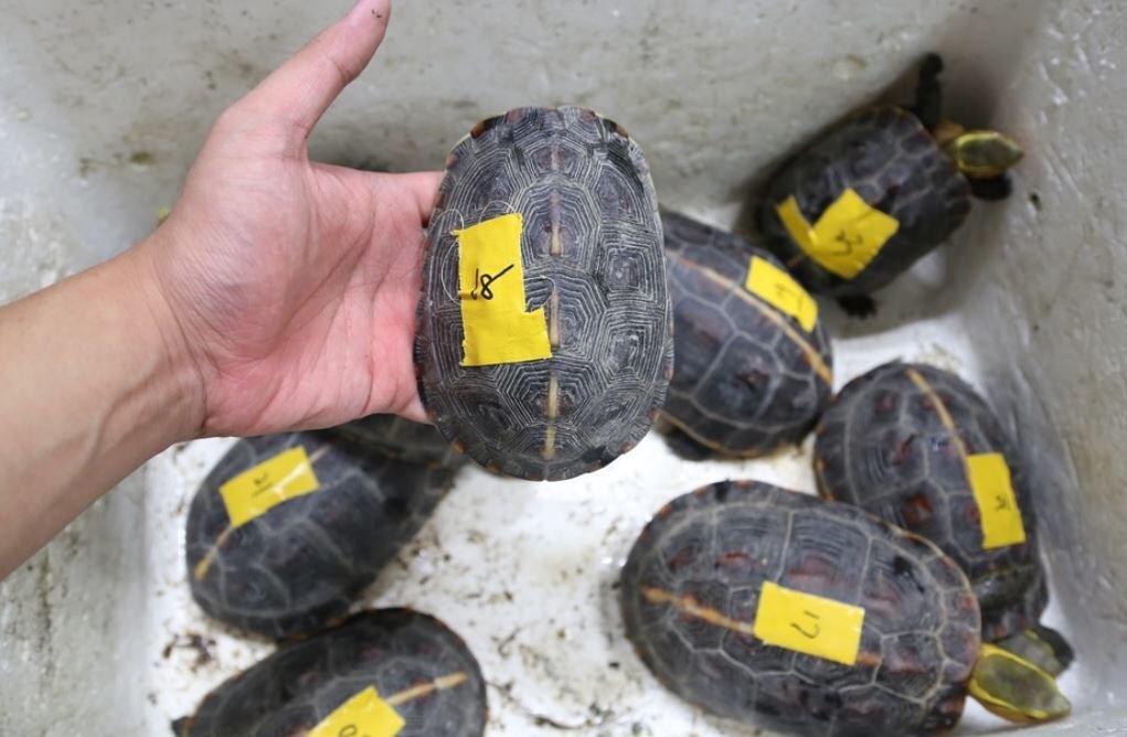 檢調單位查獲遭到竊捕的食蛇龜。 圖/聯合報系資料照