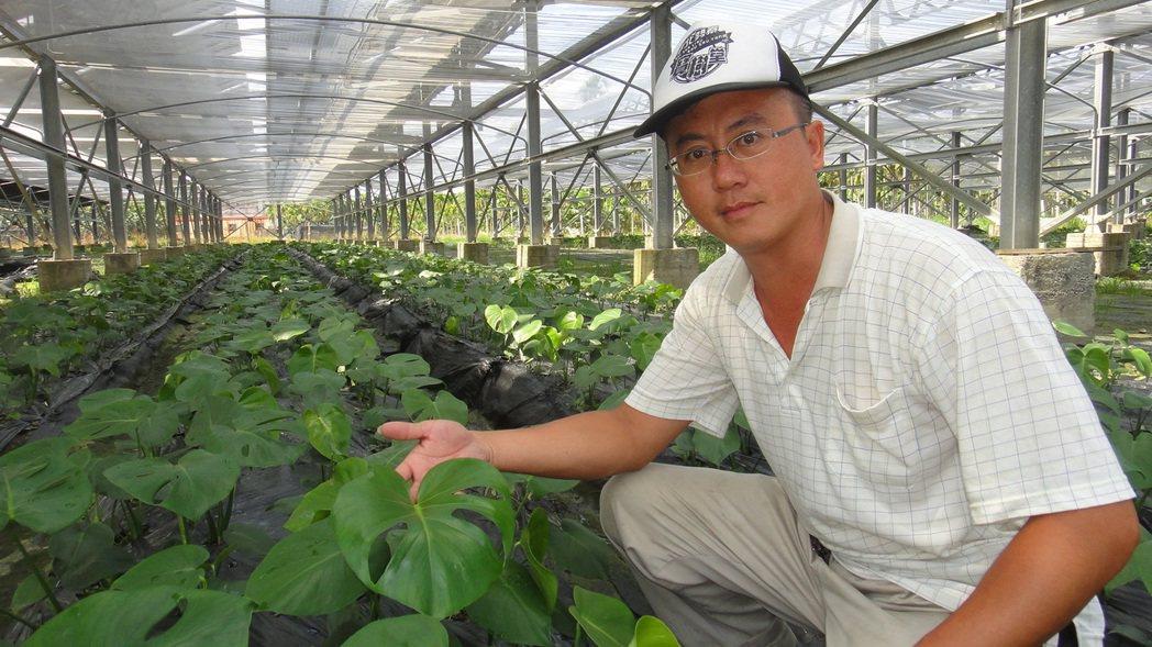 屏東農民楊尉志在太陽能板下方農地大膽嘗試種植電信蘭。記者蔣繼平/攝影