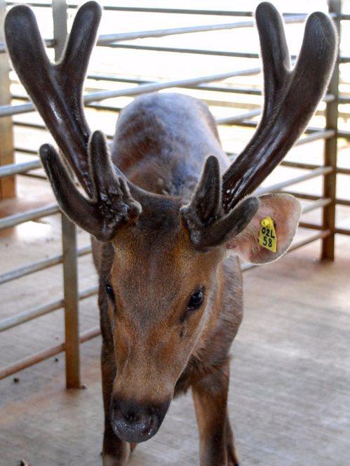 台灣水鹿。圖/農委會提供