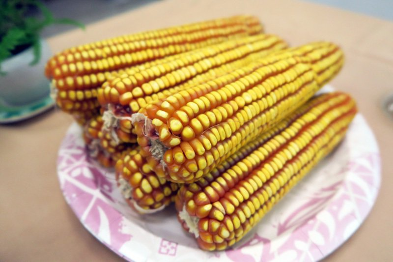 全新改良的硬質玉米品種台南29號,自播種後到收成將可以完全不需水源灌溉和農藥施肥...