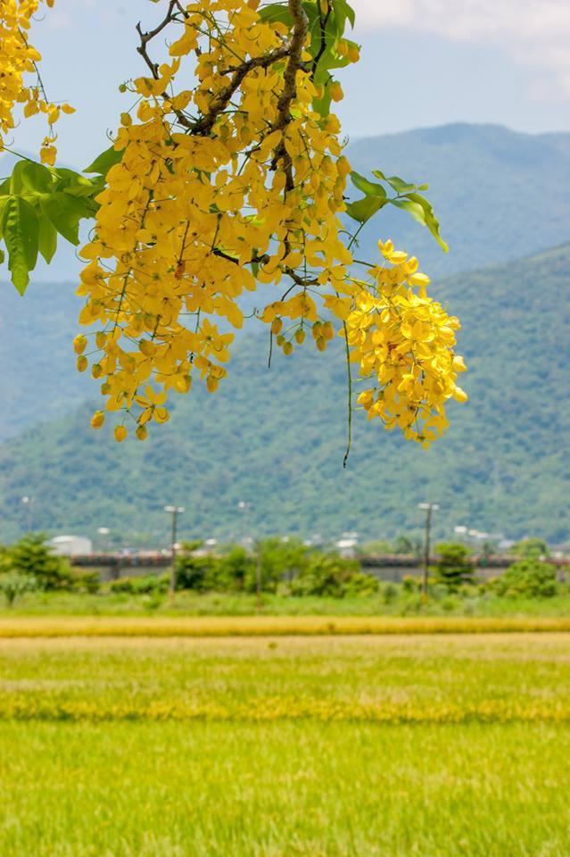 花蓮縣193縣道110公里處阿勃勒花盛開,搭配周圍金黃稻田,怎麼拍照都漂亮。圖/...