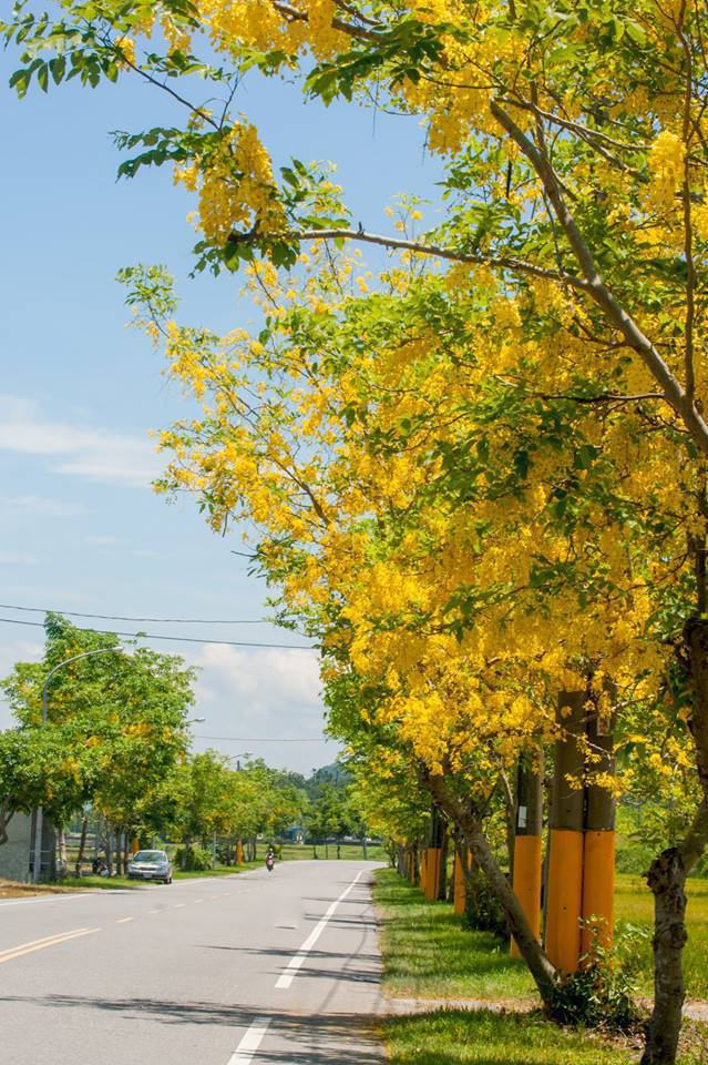 位在花蓮縣玉里鎮的193縣道的兩側,種植的黃金阿勃勒盛開,宛如金黃路廊。記者徐庭...