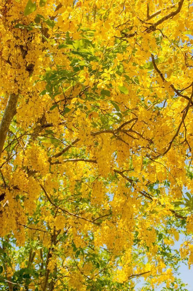 花蓮縣193線的阿勃勒「大爆發」,一串串金黃色的花朵,隨風舞動搖曳身姿。圖/花東...