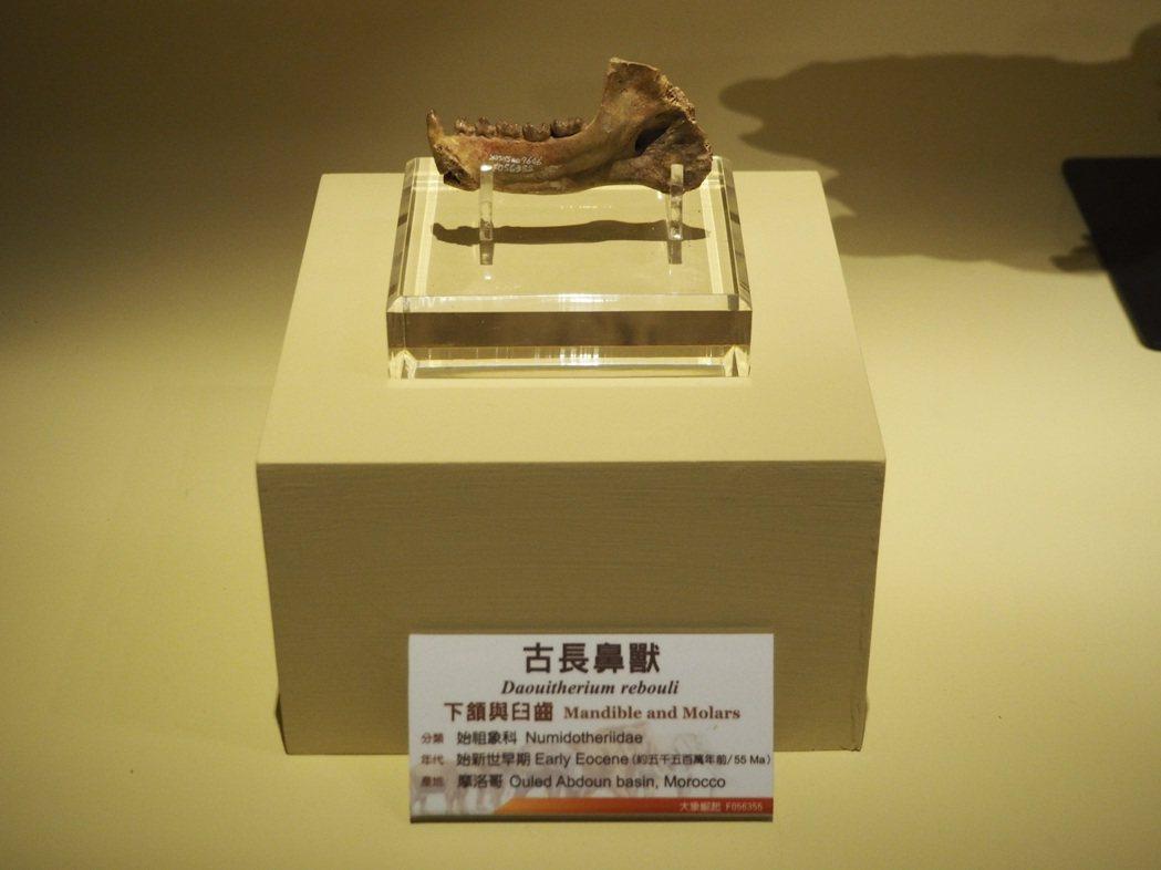 科博館典藏距今5500萬年的大象始祖「古長鼻獸」下頷與臼齒。 記者喻文玟/攝影