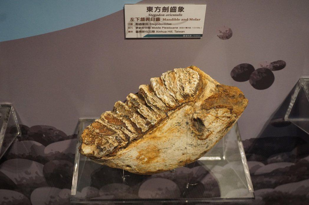 台南市左鎮區的菜寮溪流域,曾出土「東方劍齒象」左下頷和臼齒化石。 記者喻文玟/攝...