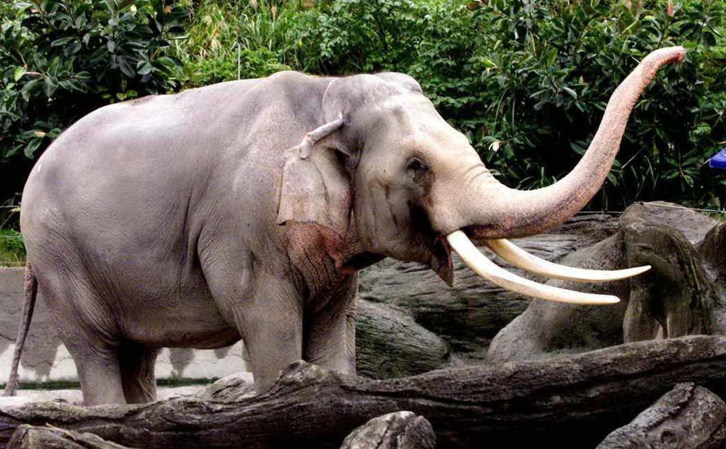 林旺是目前最長壽的亞洲象。圖為林旺83歲生日。 圖/本報系資料照片