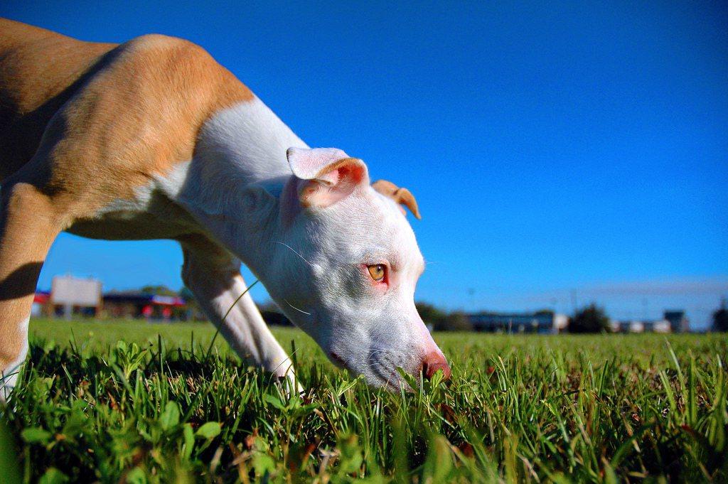 近年來,取代羅威納成為怪獸般惡魔寶座的犬種是比特犬。牠們因新興的鬥狗風潮被培育出...