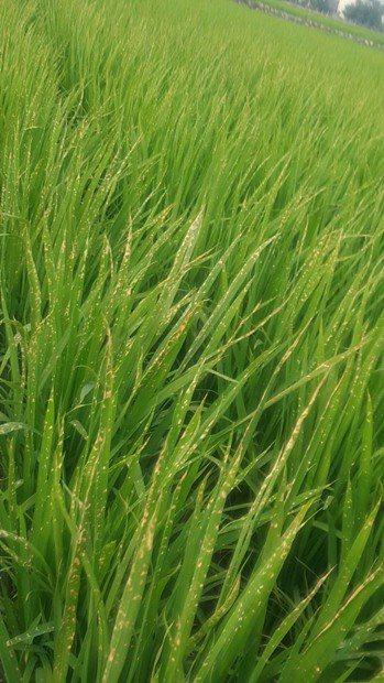 受殺草劑波及的稻子,收成大減。圖/讀者提供