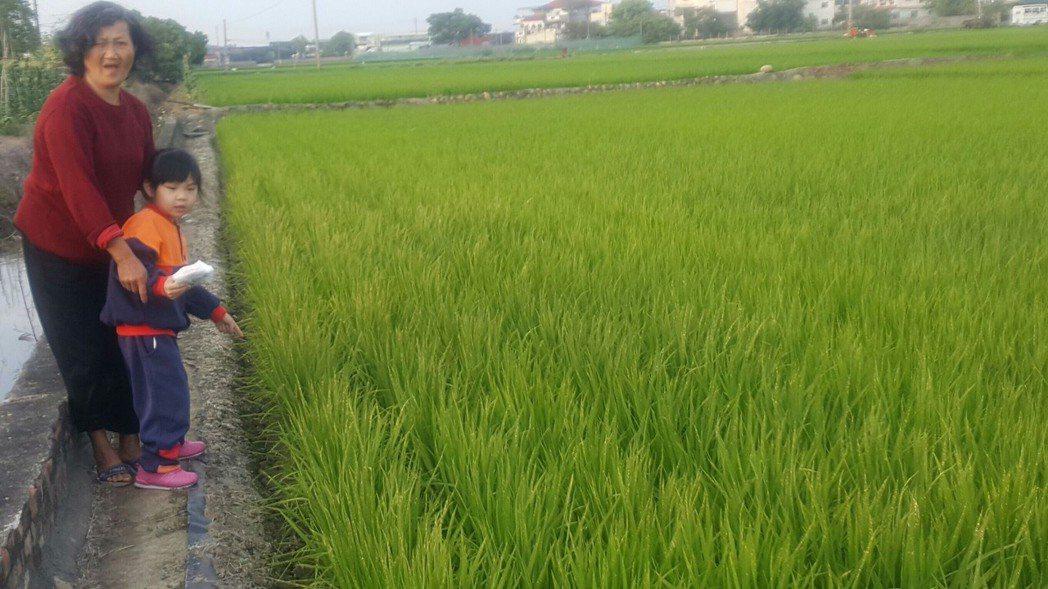 台鐵大林段沿線旁的農田,因台鐵人員使用殺草劑造成稻米短收。圖/讀者提供