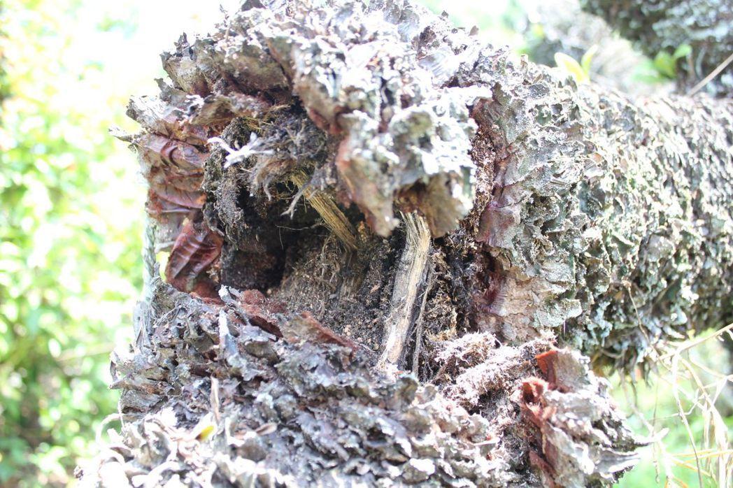 已故台灣文學作家鍾理和60多年前親手栽植的一棵蘇鐵,近年因病蟲害嚴重,加上修剪時...