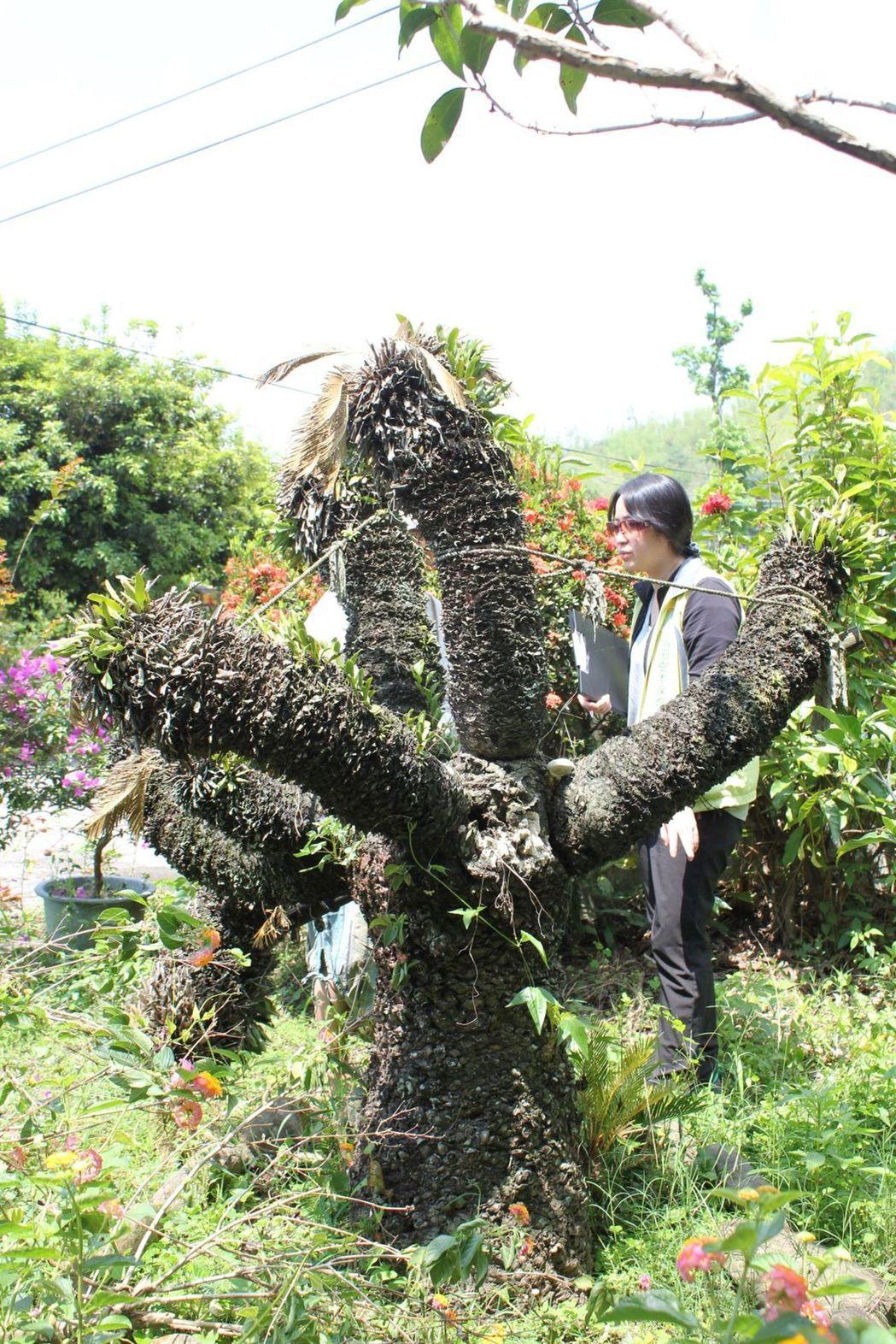 福田樹木保育基金會表示,這棵生病的蘇鐵,對鍾理和家族具有珍貴的回憶,基於對台灣文...