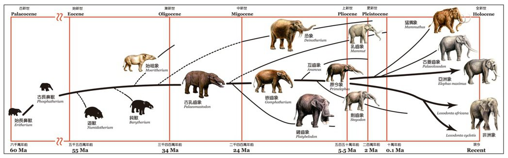 大象演化的歷史。圖/國立自然科學博物館提供