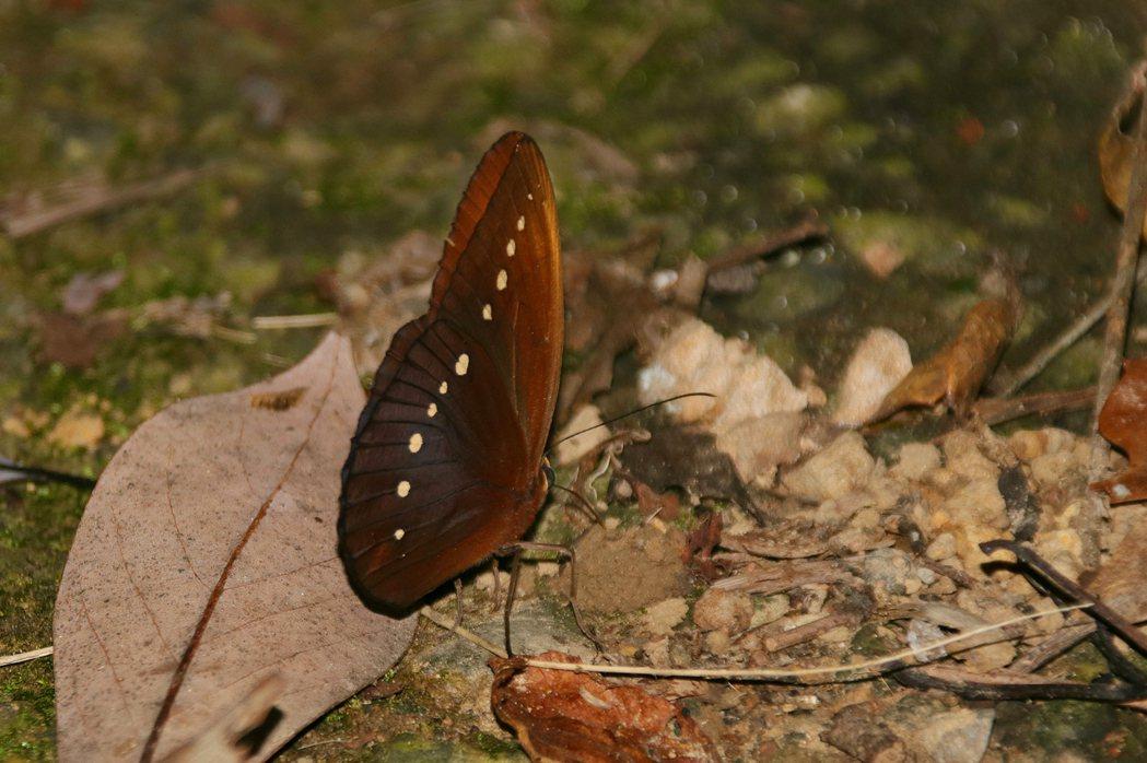 串珠環蝶喜歡吸食腐果、動物排泄物。記者曾健祐/攝影