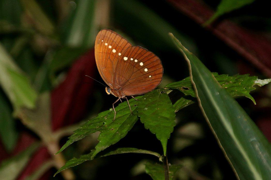 串珠環蝶翅膀呈現黃褐色,邊緣有帶狀白色斑點,有人形容像是絨布上點綴著一串珍珠。記...