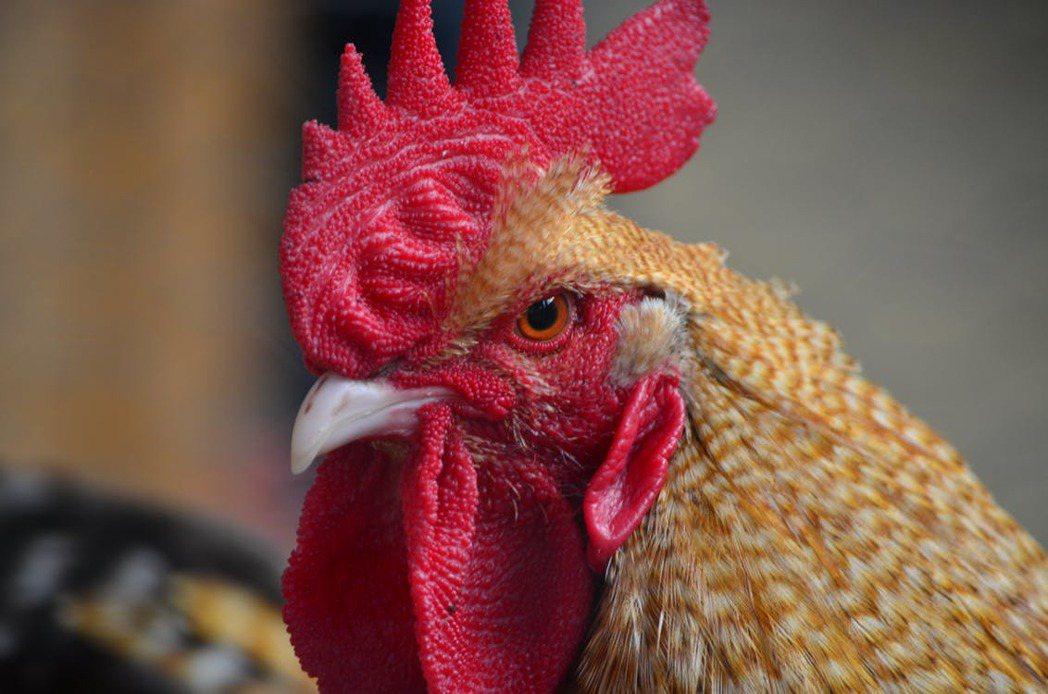 為了一隻公雞,老翁竟被酒醉的媳婦緊抓下體,導致他血流如注,送醫仍不治死亡。圖擷自...