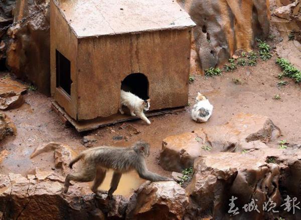 昆明動物園猴山養貓咪當侍衛。(春城晚報)
