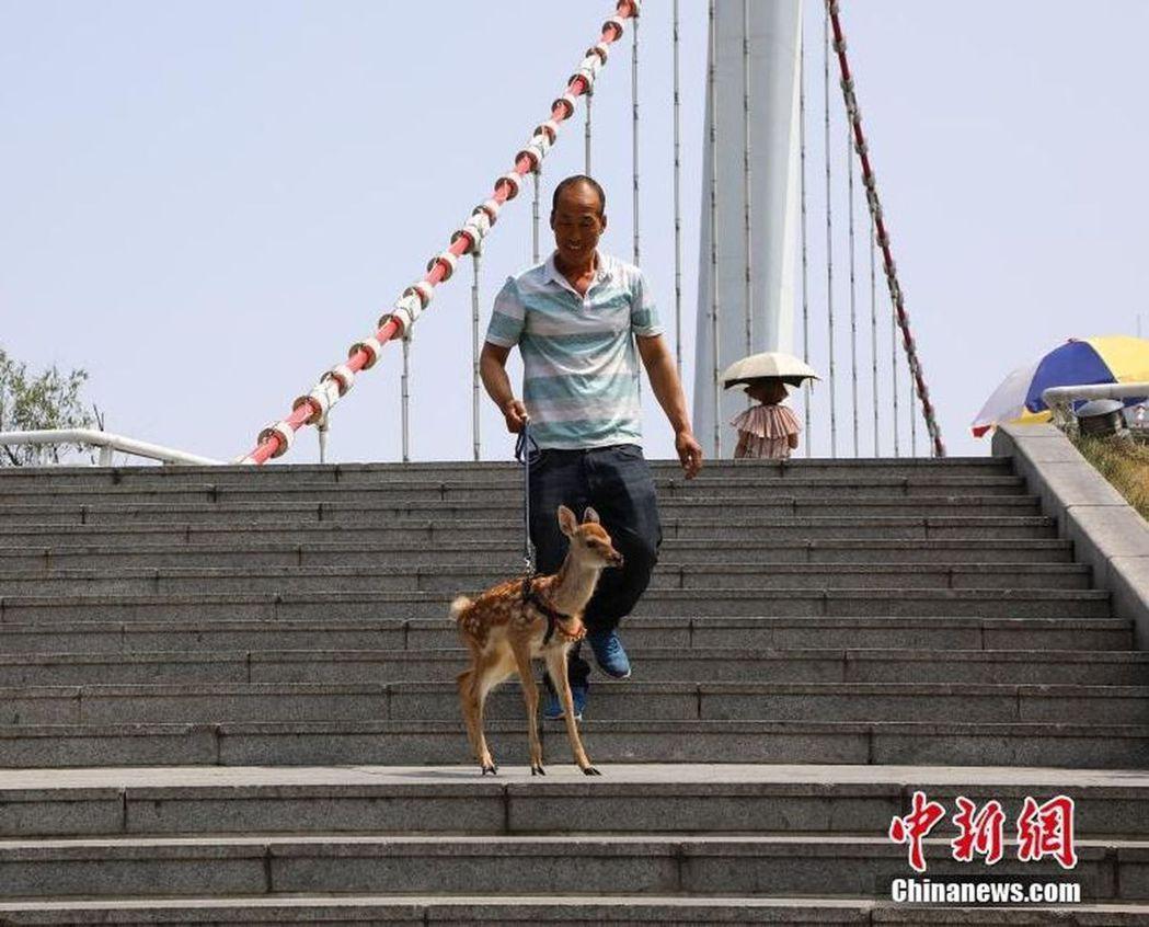 遼寧丹東一名男子在街頭遛梅花鹿。(取材自中新網/視覺中國圖)