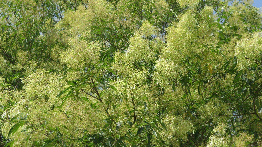雪霸國家公園管理處園區光蠟樹夏天開花美麗,有如為雪霸處慶生。記者范榮達/攝影